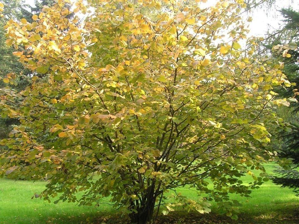 Выбираем участок для лесного ореха