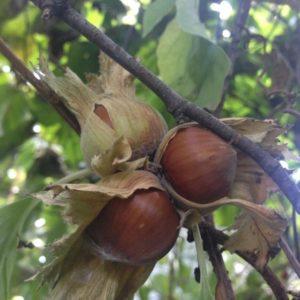 Как посадить и вырастить лесной орех