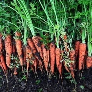 Как посадить и вырастить морковь