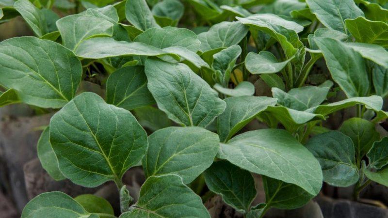 Как посадить и вырастить рассаду баклажанов