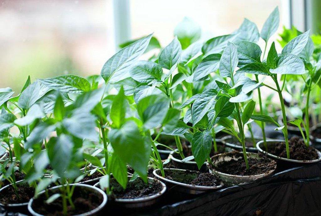 Как посадить и вырастить рассаду болгарского перца