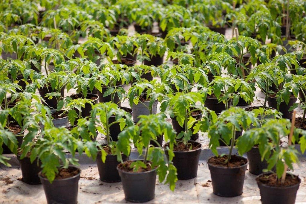 Как посадить и вырастить рассаду помидоров