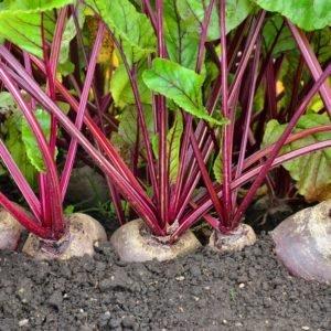 Как посадить и вырастить свеклу