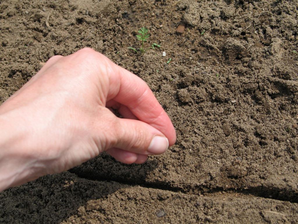 Как правильно высеивать семена моркови