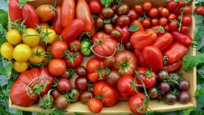 Как выбрать сорта томатов