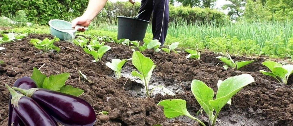 Технология посадки рассады баклажанов в грунт на участке
