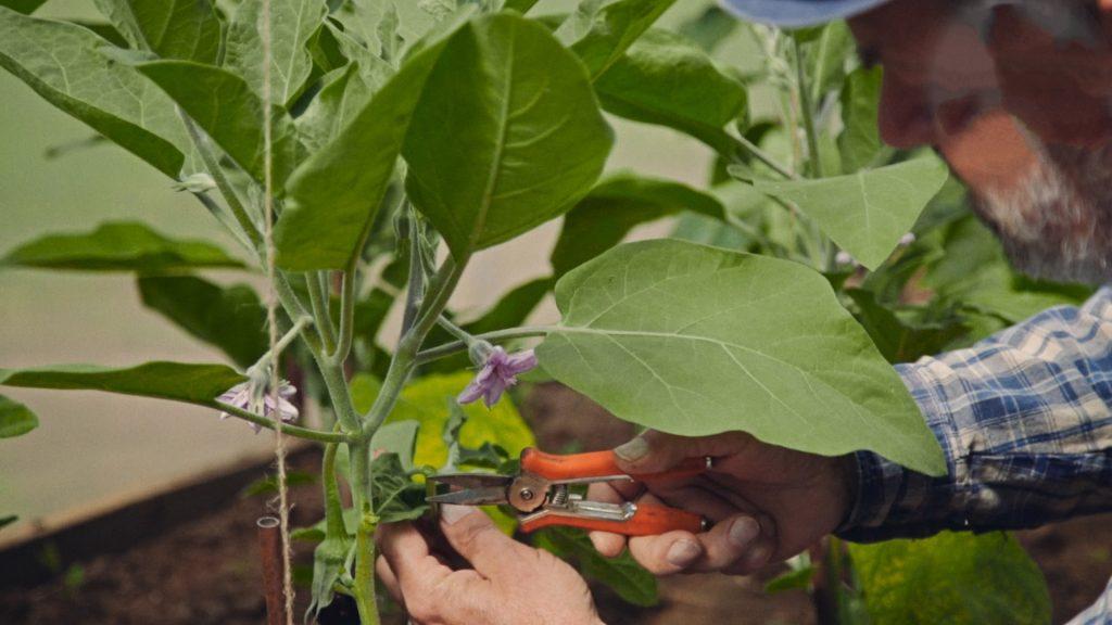 Формирование и пасынкование кустов баклажанов в теплице