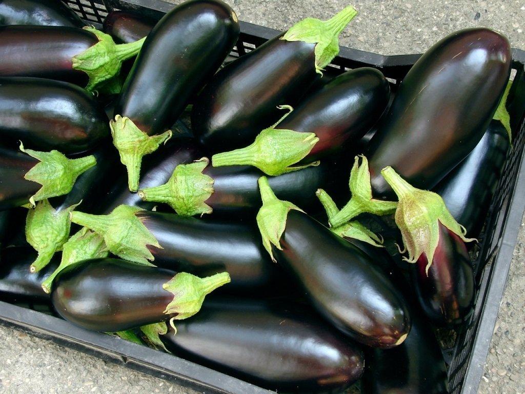 Сбор и хранение урожая баклажанов в теплице