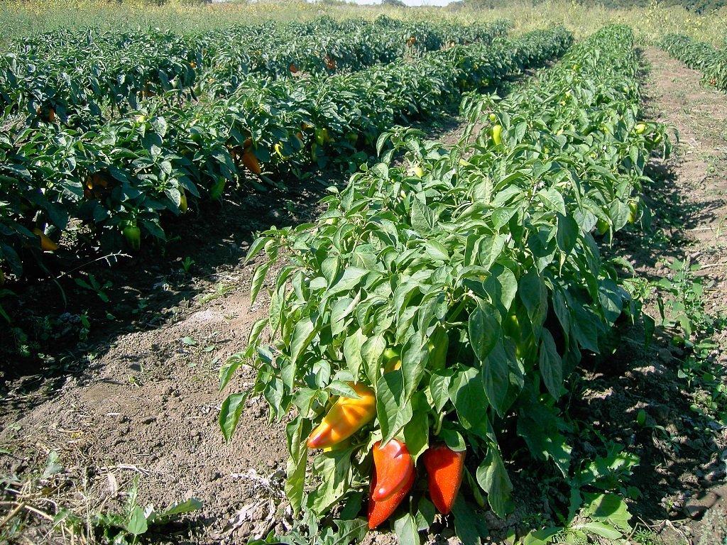 Как вырастить болгарский перец в открытом грунте