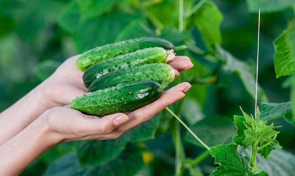 Как ухаживать за огурцами, выращиваемымидома