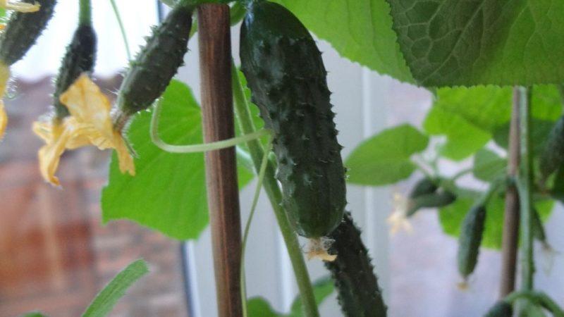 Как вырастить огурцы на подоконнике или балконе