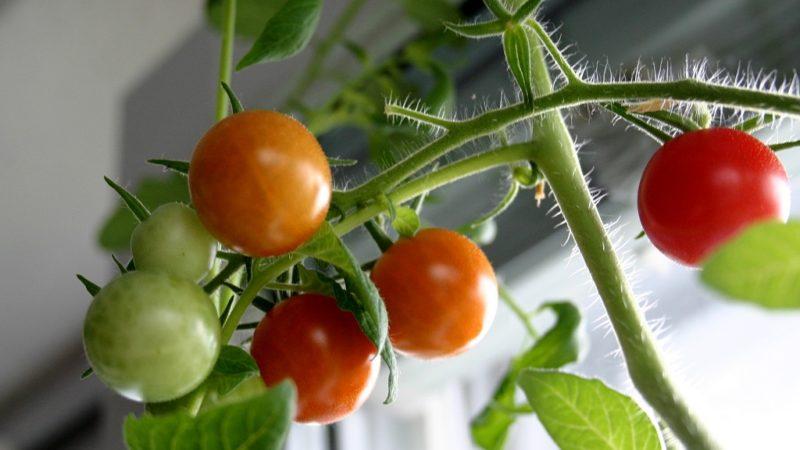 Как вырастить помидоры на подоконнике или балконе