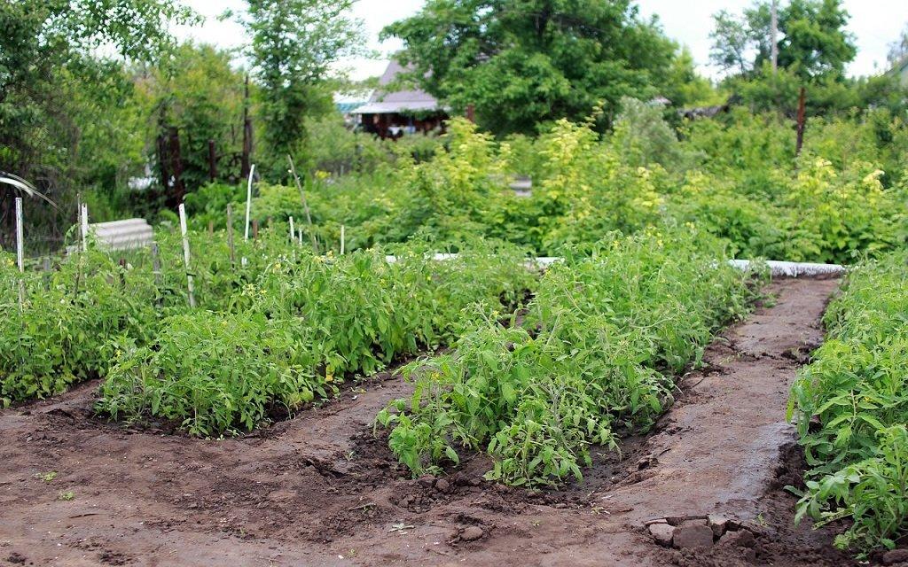 Как высадить рассаду томатов в открытый грунт