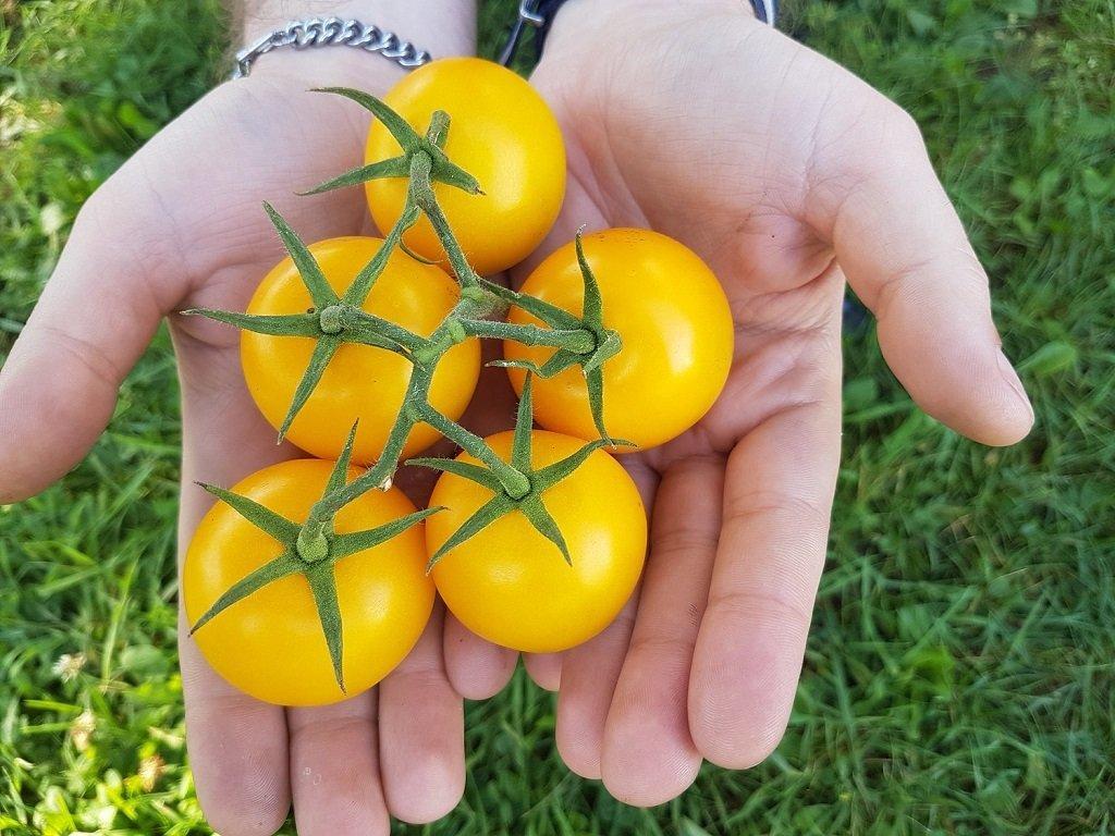 Как ухаживать за посаженными томатами